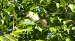 Warbling Vireo (Vireo gilvus) with its head upside down and taking off Stock Footage