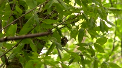 Hairy Woodpecker (Picoides villosus) pecking on a branch and feeding Stock Footage