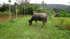 Thai buffalo is grazing in a field Stock Footage