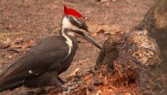 Pileated Woodpecker (Dryocopus pileatus) pecking and break open tree trunk Stock Footage