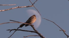 Red-Winged Blackbird (Agelaius phoeniceus) on branch with moon in background - stock footage
