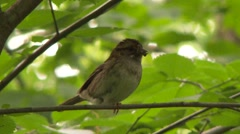 Stock Video Footage of Song Sparrow (Melospiza melodia) standing on one leg with bug in its mouth