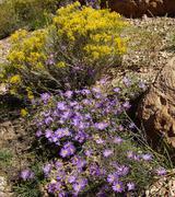 Purple aster wildflower Stock Photos