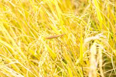 grasshoppers in rice fields on top of spike - stock photo