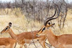 Springbok antidorcas marsupialis Stock Photos