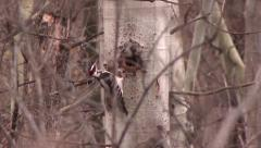 Downy Woodpecker (Picoides pubescens) checking out hole in tree and entering it Stock Footage