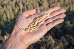 Caucasian man hand with rice spike Stock Photos