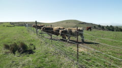 Sonoma Cows 10 Stock Footage