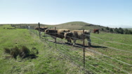 Stock Video Footage of Sonoma Cows 10