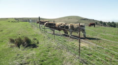 Sonoma Cows 11 Stock Footage