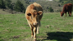 Sonoma Cows 15 Stock Footage