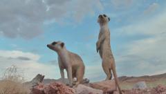 Two meerkats vigilant on rocks, looking around 7.2 Stock Footage