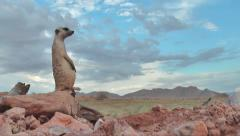 Meerkat sitting on edge of rock, watchful  7.5 Stock Footage