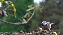 Blue tit in autumn - slow motion Stock Footage