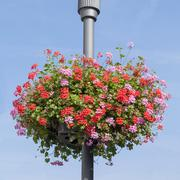 Red and pink geranium basket on lamppost Stock Photos