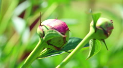 Pink peony buds with ants. Stock Footage