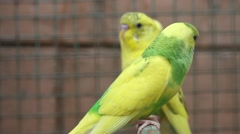 Domestic caged yellow budgie parrot Arkistovideo