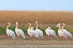 White pelican (pelecanus onocrotalus) Stock Photos