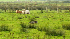 Cow,calf and birds in marshland Stock Footage