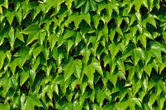 Common ivy (hedera helix) on a brick wall Stock Photos