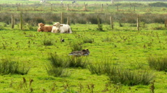 4K UHD cow,calf and birds in marshland - stock footage