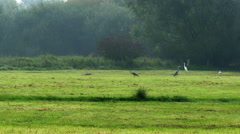 4K UHD grey herons and greate egrets in marshland - stock footage