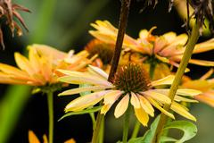 Yellow echinacea flowers in bloom Stock Photos