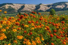 Field of marigolds with mountains Stock Photos