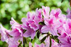 Pink azalea blooms on bush Stock Photos