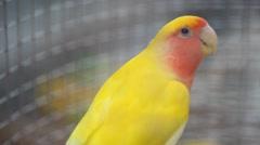 Roseicollis Parrots Stock Footage