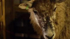 Ewe in Pen Slow Tracking Close Up Stock Footage