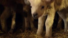 Cute Newborn Lamb in a Pen Stock Footage