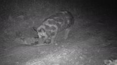 Wild Boar Hogs Stock Footage