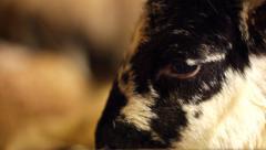 Newborn Lamb Extreme Close Up Stock Footage