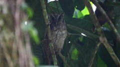 Tropical Screech Owl, Megascops choliba, roosting Stock Footage