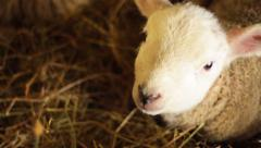 Newborn Lamb Close Up Looking to Camera Stock Footage