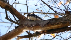 Downy Woodpecker (Picoides pubescens) breaking wood chips that fall into camera Stock Footage