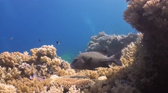 Harlequin Sweetlips on a colorful coral reef Stock Footage