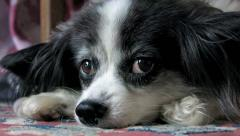 Small papillon pet dog resting and looking at camera Stock Footage