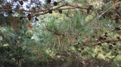 Pine tree branch moving in the breeze - stock footage