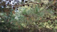 Stock Video Footage of Pine tree branch moving in the breeze
