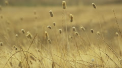 Close up slow motion shot of stalks of wheat blowing in wind in rural field / Stock Footage