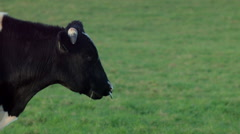 Cows near Crosshaven, Cork Ireland Stock Footage