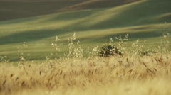 Wide slow motion panning shot of wheat blowing in  / Val d'Orcia, Tuscany, Italy - stock footage