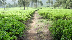 Tilt from a footpath to the tea plantations in Sri Lanka Stock Footage