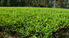 Tilt pan from a tea plantation at a hill in Sri Lanka Stock Footage