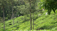People working in the tea plantations in Sri Lanka Stock Footage