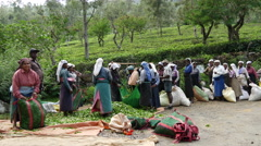Tea plantation workers weighing the bags with tea leafs Stock Footage