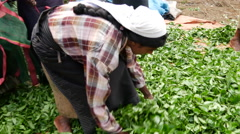 Tea plantation workers doing tea leafs in bags Stock Footage
