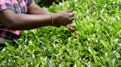 Woman hands picking tea leaves at a tea plantation in Sri lanka Stock Footage